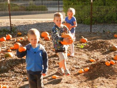 Lots of pumpkins to harvest.